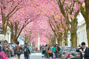 Floraison des cersisiers au japon