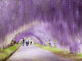 Tunnel de glycine au japon